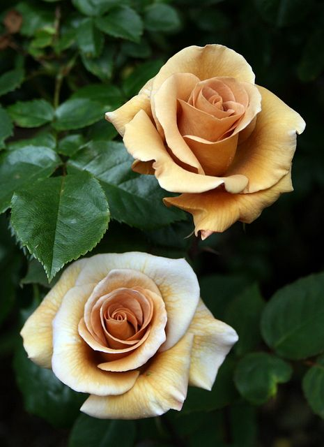 Irish Creme Roses. To go with the brown roses I posted earlier