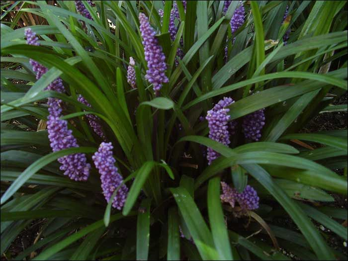 1000 images about shade perennials for dappled shade for for Ornamental grass with purple flowers
