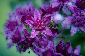 Purple macro flowers