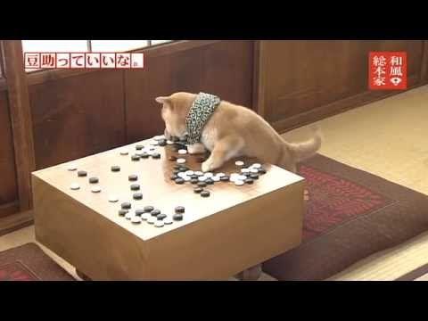 「和風総本家 豆助っていいな。」七代目豆助③/Japanese Shiba Inu - YouTube