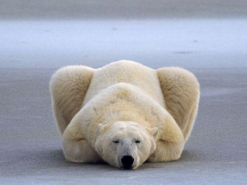 .polar bear