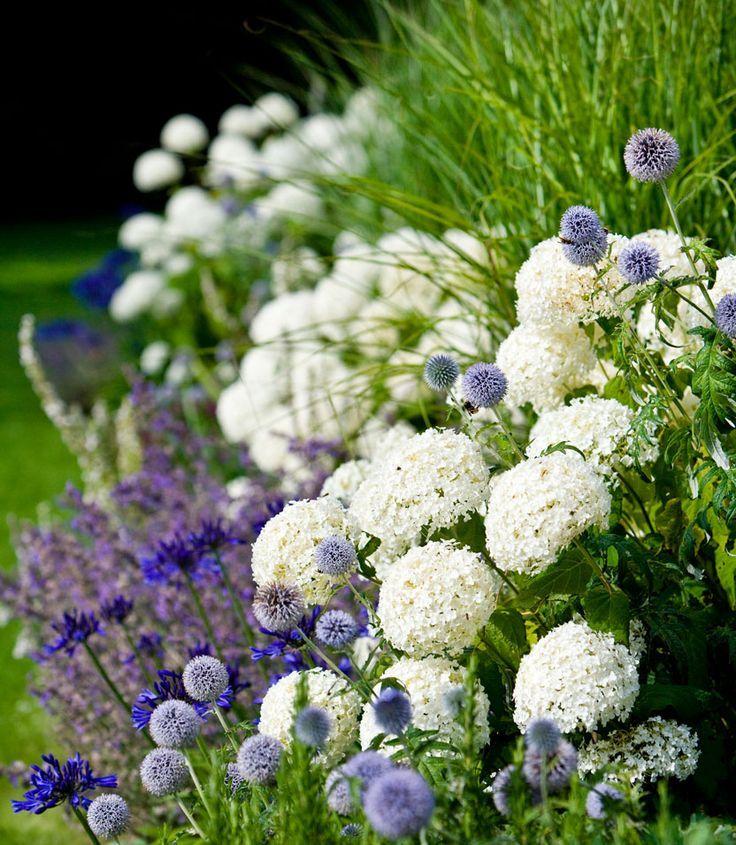 Hydrangea Annabelle with Agapanthus, Salvia 'Mainacht' and Echinops retro, landscape, landscape design, flowers, white flowers, purple flowers, garden design, landscape architecture
