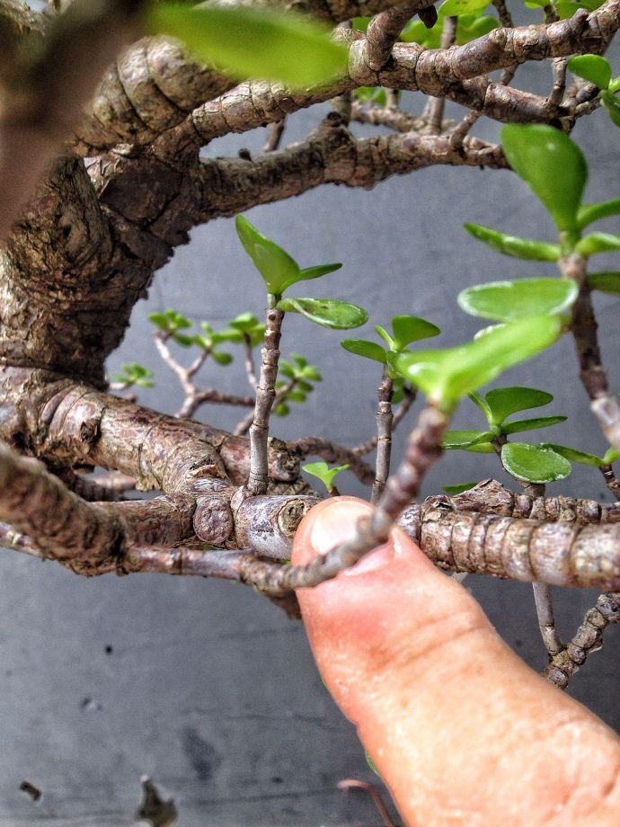 Repotting A Jade Plant Jade Plants Plants Jade Plant Care