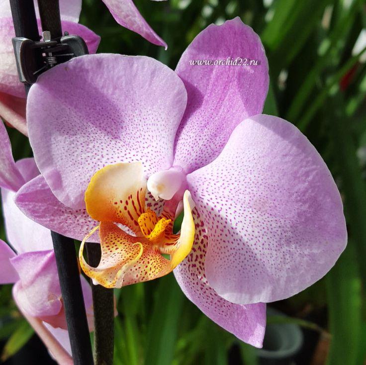 Орхидея Phalaenopsis Chengdu (отцвел)