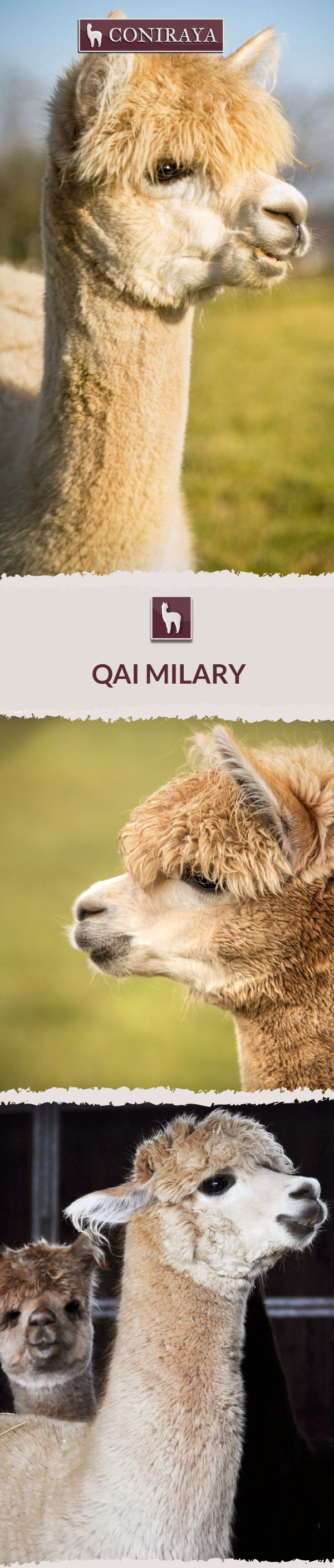 Meet Coniraya - Milary. This Alpaca was born in 2013 and its fiber is in color: Medium Fawn. Check out more details on our site!