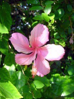 Hibisco Rosa de Flor Pequena ( Hibiscus rosa-sinensis ¨saw roseo ¨ ) - Edilson Giacon - Viveiro Ciprest - Mudas de Hibisco
