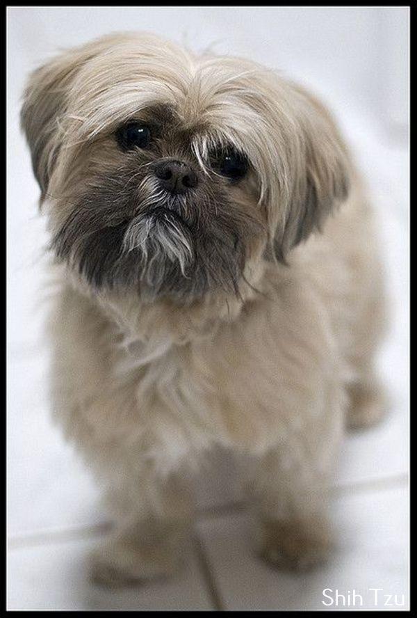 Shih Tzu Affectionate And Playful Shih Tzu Shih Tzu Dog Shih
