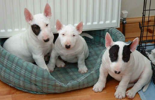 Miniature Bull Terrier. This could be our next dog, they're hypoallergenic.