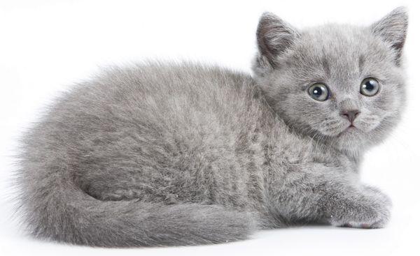Brtish Kitten Grey Kitten Grey Cat Names Grey Kitten Names