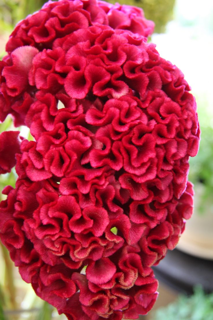 Not a coral but a flower! Celosia in its coxcomb form.