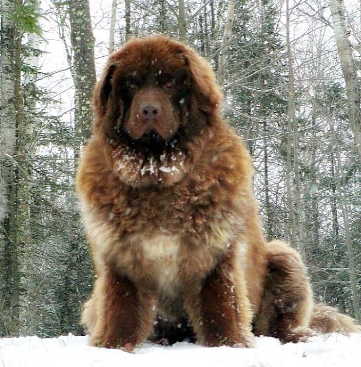 Caucasian Mountain Dog Puppies