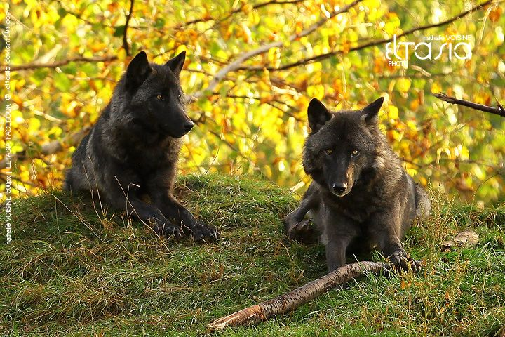 Wolves: Natural Wonder, Slinky Wolves, Beautiful Animal, Natural Children, Favorite Wolf, Wolf Pictures, Animal Wildlife, Black Wolves, Mothers Natural