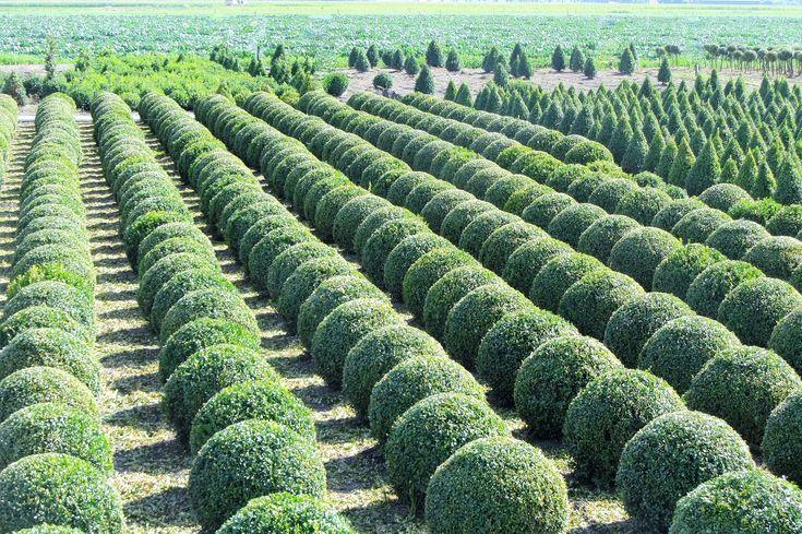 Best 25+ Boxwood shrub ideas on - 140.0KB