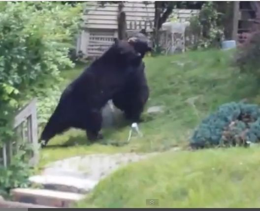 ****Crazy Nature-Two Bears Get Into A Raging Fight In Mans Front Yard****
