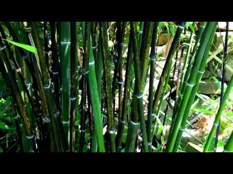 ▶ My Bamboo Garden with Black Bamboo / How to grow a Bamboo Plant - YouTube