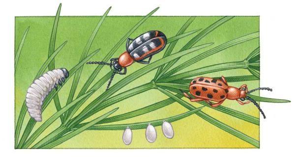 Asparagus Beetle Control: 46 Best Guild Asparagus Images On Pinterest