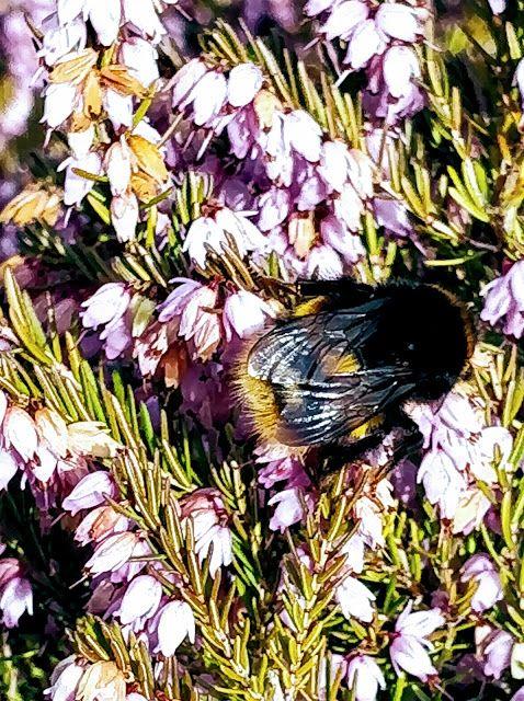 madmumof7: Springtime Bee #mysundayphoto