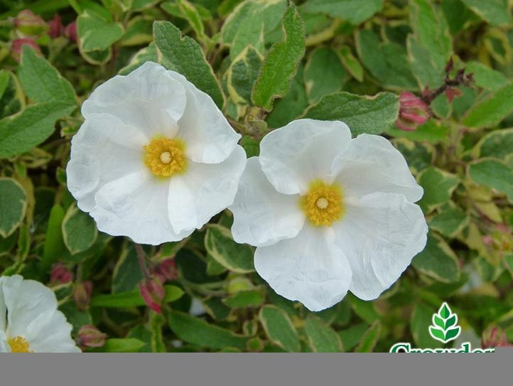 Cistus x hybridus, also known as White Rock Rose is a dense evergreen shrub that's low maintenance and perfect for adding some extra colour to a border or adorning a bare looking exterior wall. With small green leaves with a wavy profile, Cistus x hybridus produces large, yellow centred white flowers towards the end of spring or beginning of summer.    Dense with an average rate of growth, Cistus x hybridus prefers an area with full sunlight that's either exposed or sheltered. Suitable for…