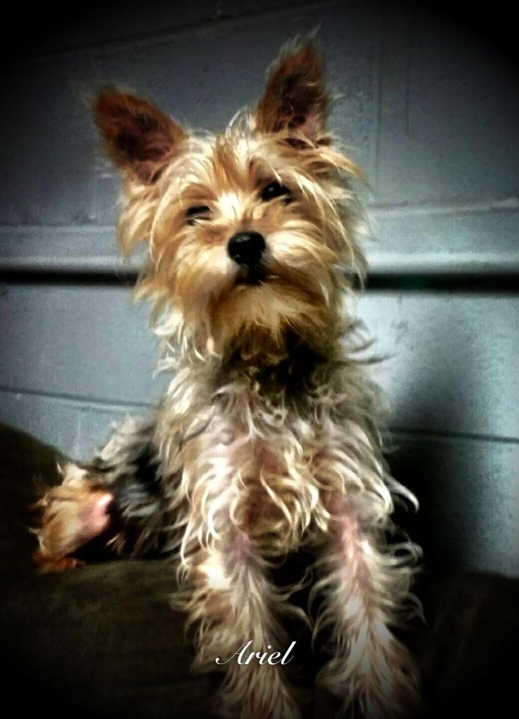 Meet Ariel, an adoptable Yorkshire Terrier Yorkie looking for a forever home. If you're looking for a new pet to adopt or want information on how to get involved with adoptable pets, Petfinder.com is a great resource.