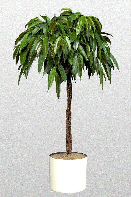 17 best images about ficus 39 on pinterest plant pots. Black Bedroom Furniture Sets. Home Design Ideas