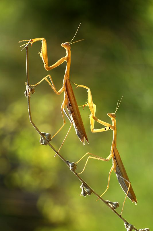 """cause this is Thriller, thriller night…"" No it's funny because female praying mantis kill and eat their mate. hehe"