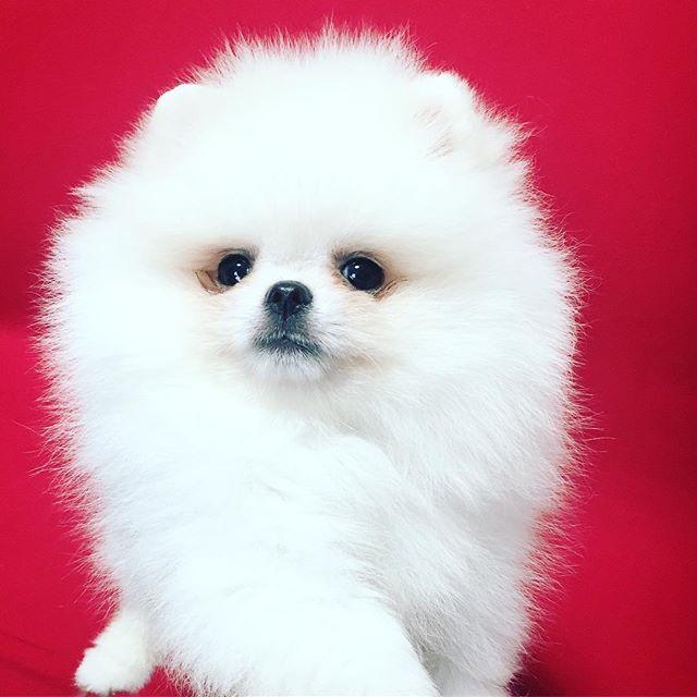 white pomeranian✨ . #ホワイトポメラニアン #puppy #dog #pomeranian #ポメラニアン #ポメ #子犬 #こいぬ #ブリーダー #breeders #博美犬 #dogstagram #dogsofinstagram #whitedog #love #犬 #愛犬 #小型犬 #tinydog #teacupdog #minidog