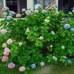Growing hydrangeas is so much fun. When given suitable growing conditions, their care is quite easy. To learn how to grow and care for hydrangeas in your garden, read the article that follows.