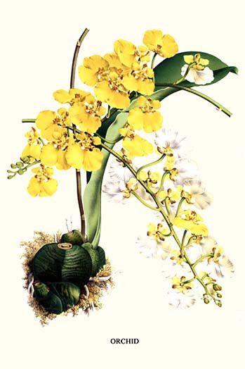 Orchid, Oncidium ampliatum majus, Guatemala,Panama,Colombia,Peru,Venezuela,Trinidad , Turtleshell orchid