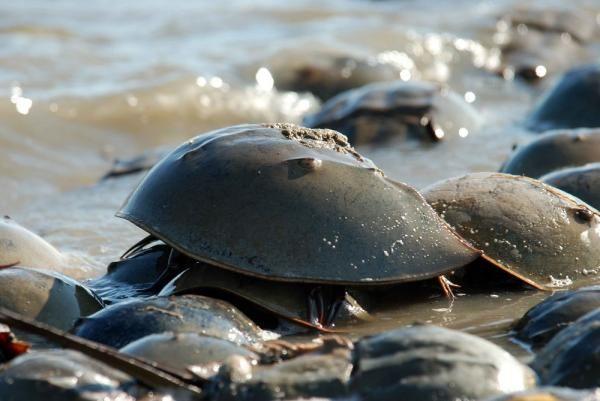 La cacerolita de mar, Limulus polyphemus, También conocido como cangrejo de herradura o cangrejo bayoneta, se trata de un auténtico fósil viviente que actualmente se halla en peligro de extinción. A pesar de gozar de diversas denominaciones como cangrejo, no es un cangrejo. Ni tan siquiera se trata de un crustáceo; es un artrópodo emparentado con las arañas.
