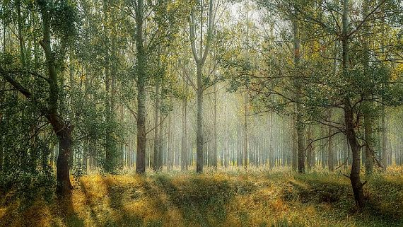 Mystic Forest Foggy Forest Trees Fog Nature Digital