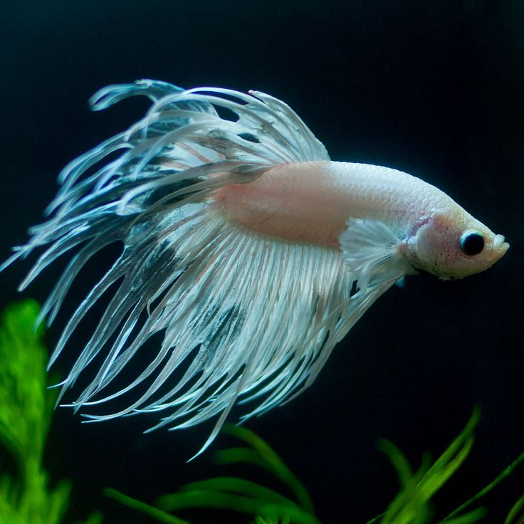 138 best bettas images on pinterest fish aquariums for What kind of fish can live with a betta