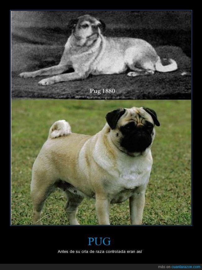 PUG - Antes de su cría de raza controlada eran así