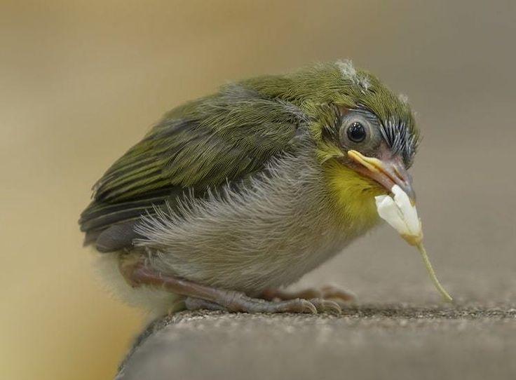 Mengenal Ciri Khas Burung Pleci Jepang Zosterops Japonicus Burung Jepang Bulu