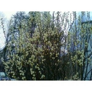 Pussy Willow Cuttings 34
