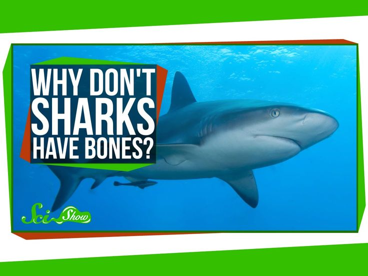 SciShow Explores the Fascinating Anatomy of Sharks and Explains Why They Don't Have Bones