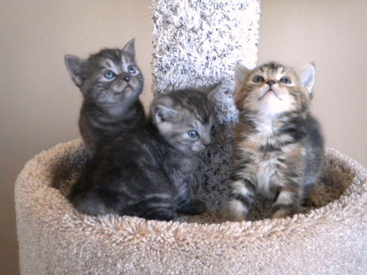 manx cats Manx Kittens Manx kittens