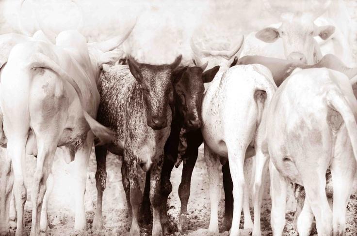 Nguni cows in Nigeria