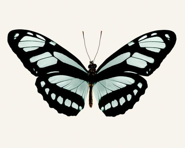 Rocky top Studio; Butterfly Photo No. 15 - Philaertia Dido - Bamboo Page Butterfly Print