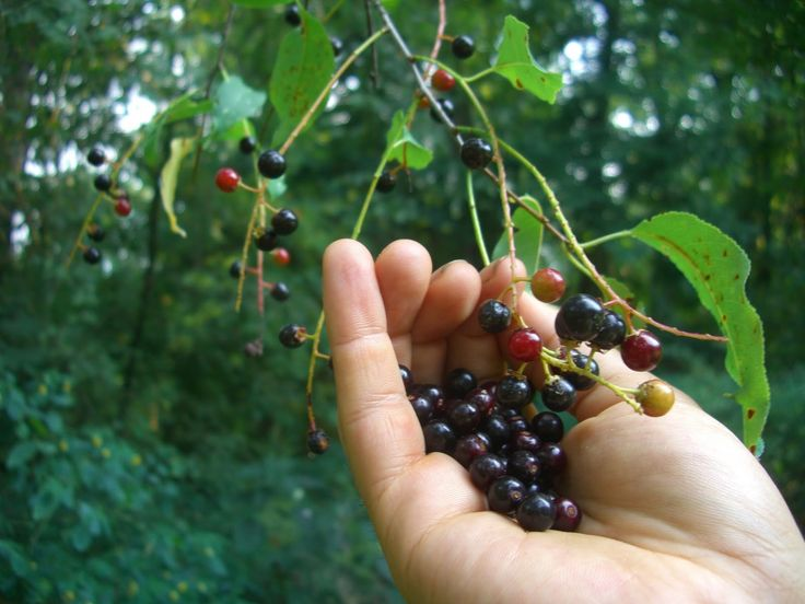 Temperate Climate Permaculture: Permaculture Plants: Black Cherry Tree