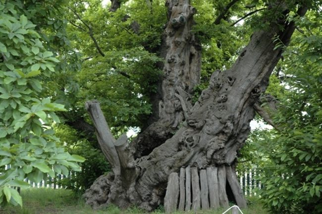 Chestnut Tree (over 4,000 years old)