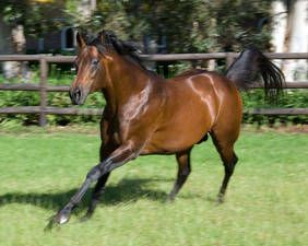 "Silvano(1996)(Colt)Lomitas- Spiorit Of Eagles By Beau's Eagle. 5x5 To Ribot. 18 Starts 7 Wins 2 Seconds 2 Thirds. $2,321,024. Won Arlinton Million(G1T), Singapore Cup(Jap-1), Grosser Preis Der Wirtscraft(Ger-2), Union-Rennen(Ger-2), Man O""War S(US-1T), Gerling Preis(Ger-2), Dubai Sheema Classic(UAE-2)."