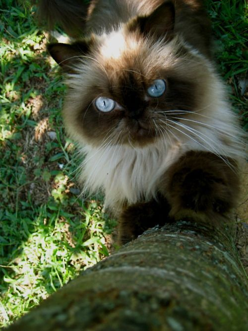 Himalayan kittens for sale fresno ca
