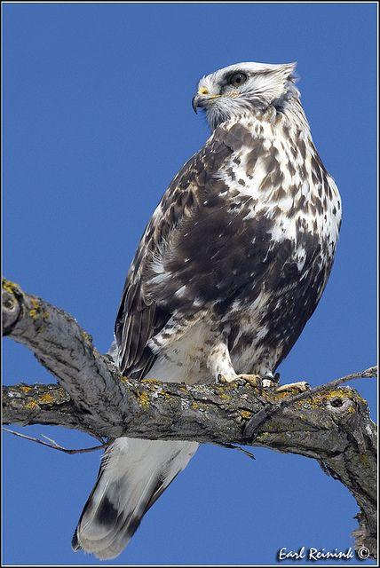 Rough-legged Hawk by Earl Reinink..