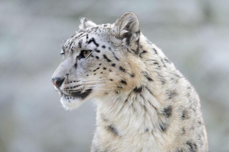 The snow leopard has been downgraded from endangered to vulnerable, but some conservation groups aren\u0027t happy with the status change.