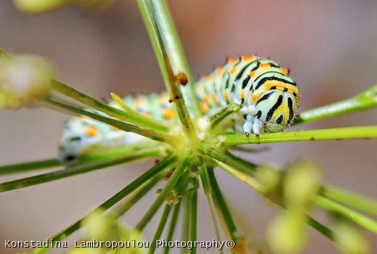 Black swallowtail, Papilio polyxenes caterpillar