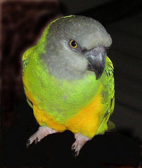 Senegal Parrot...my future pet :)