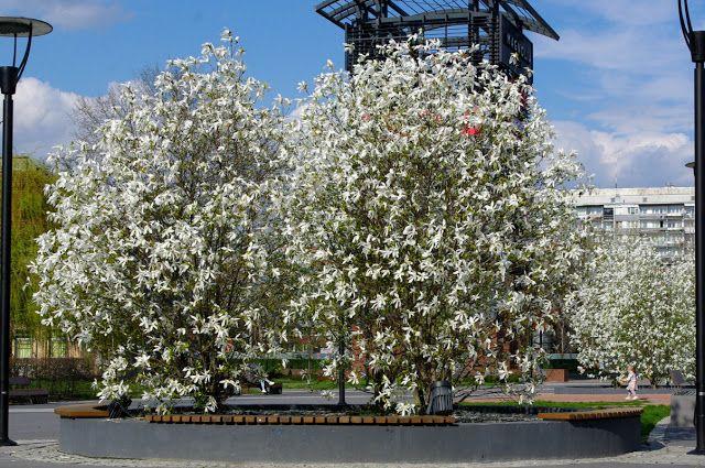 ogrodowe tu i tam: magnolie pod Magnolią