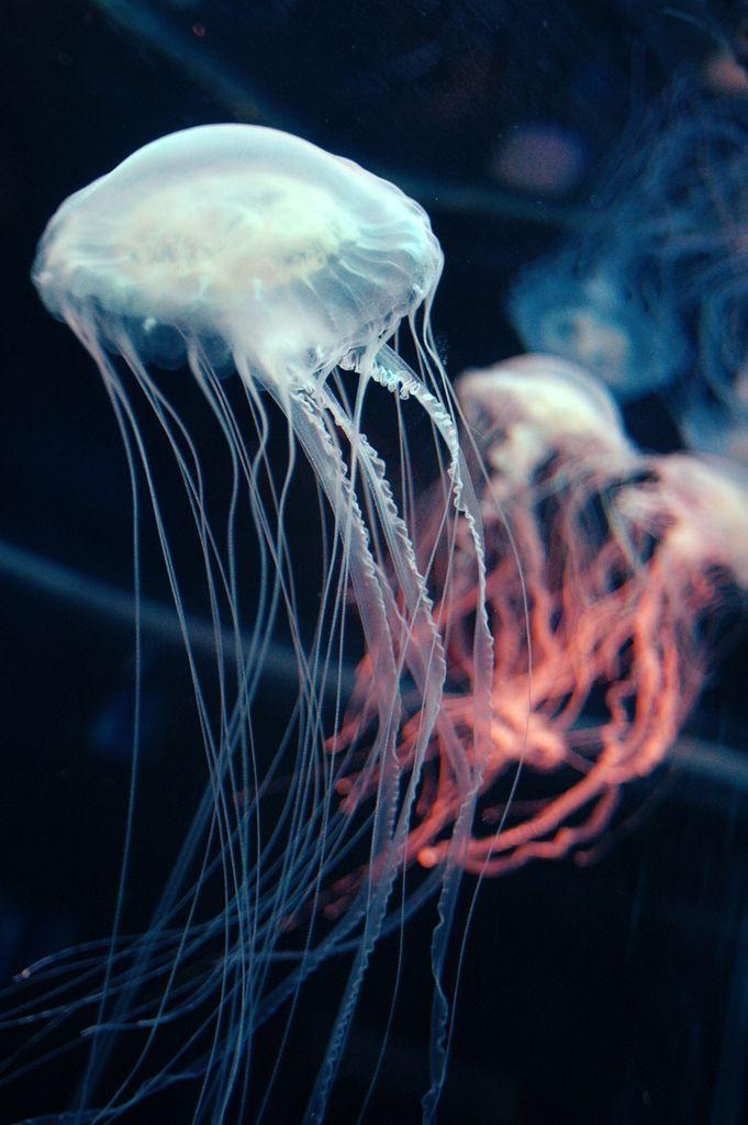 : Animals, Sea Life, Sea Creatures, Sealife, Jellies, Posts, Ocean Life, Jelly Fish, Jellyfish