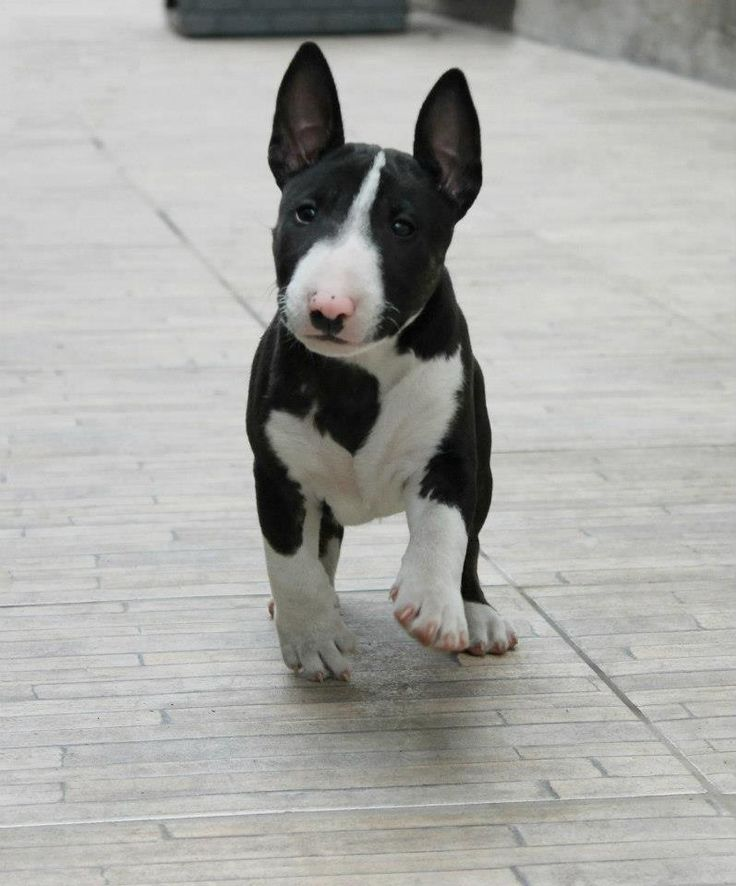 There's that perfect baby Bullie again. <3 #bullterrier #dogs #puppy