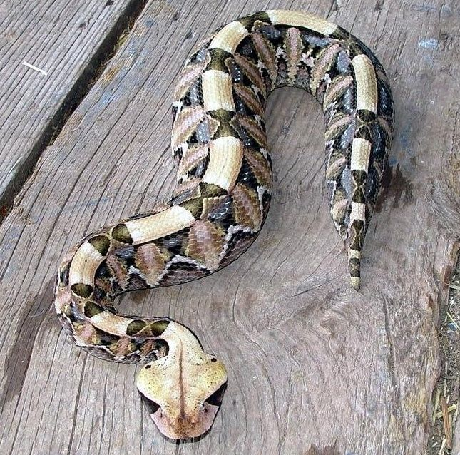 Gaboon Viper - gorgeous snake. Extremely dangerous hard to see snake, with the lingest fangs of any snake in the world. Found in Zambia.